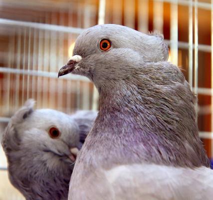 ФОТОРЕПОРТАЖ  Пташки-красуньки в Ужгороді ba7410df01fe3